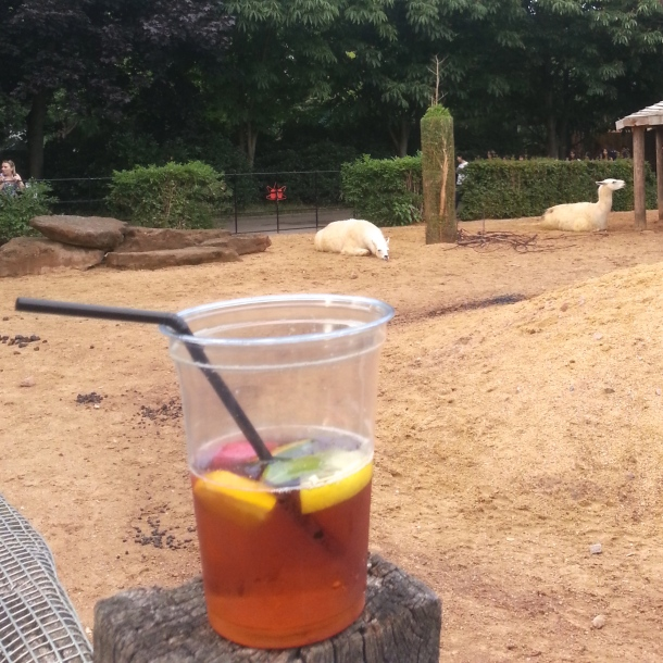 Sleepy llama is jealous about my Pimms cup.